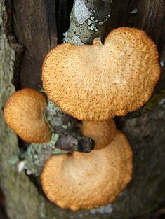 hexagonal-pored polypore, can be found on sticks and decaying logs in North America Poisonous Mushrooms, Edible Mushrooms, Wild Mushrooms, Stuffed Mushrooms, Mushroom Fungi, Wild Edibles, Diamond Shapes, Fresh Fruit, Orange Color