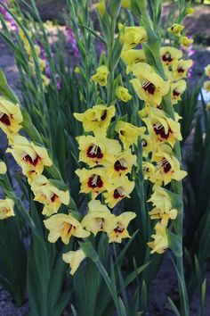 #Gladiool #Gladiolus Yellow/Bordeaux ; Available at www.barendsen.nl