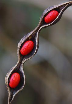 Se llaman frijoles o semillas de zompantle pero NO SON COMESTIBLES sino tóxicas. MUY tóxicas, lo que si se comen son sus flores.