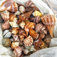 Sanibel beach combing shell finds
