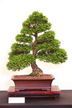 bonsai tree histories hinoki cypress bonsai case history rh pinterest com Bonsai Trees for Beginners Bonsai Trees for Beginners
