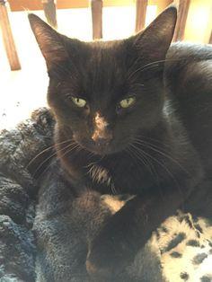 Found Cat - Domestic Medium Hair - Brantford, ON, Canada on November 06, 2015 (16:00 PM)