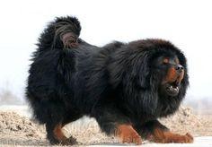 Black tibaten Mastiff