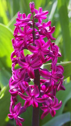 Gorgeous spring hyacinths - reminds me of my grandmother