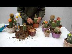 Como abonar 2 cactus injertos