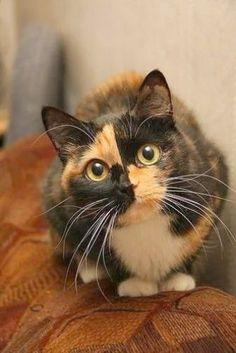 Tortoiseshell Cats: Interesting Facts about Tortoiseshell - Katzen Bilder - Cute Cats And Kittens, Cool Cats, Kittens Cutest, Pretty Cats, Beautiful Cats, Animals Beautiful, Beautiful Images, Cute Funny Animals, Cute Baby Animals
