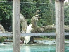 Zoo de La Flèche: ours polaire cherchant le morceau de viande lancé par le soigneur
