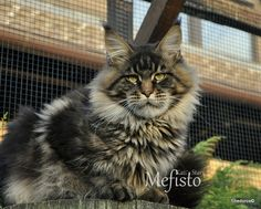 "What a  Maine Coon! ""Mefi""- PL*Kati´s Star Mefisto. Shedoros Maine Coon cattery in Germany."