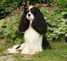 Beautiful Cavalier