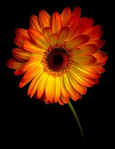 Photo: Gerbera there are some lovely colours in this gerbera. Bright Flowers, Orange Flowers, Tropical Flowers, Amazing Flowers, Beautiful Roses, Beautiful Flowers, Flower Phone Wallpaper, Daisy Love, Sunflower Wallpaper