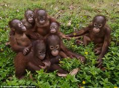 These orphaned orangutans were photographed at a rescue centre in Borneo. Although they have lost their parents, that have bonded as if they...
