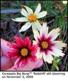 coreopsis-big bang