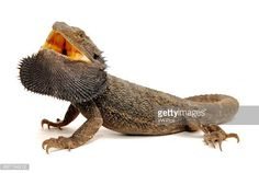 Want To Know About Eastern Bearded Dragons, Find Out Here Eastern Bearded Dragon, Bearded Dragon Diet, Best Diets, Reptiles, Dragons, Google, Bearded Dragon, Kites
