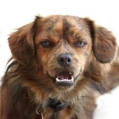 * Flanagan is an adoptable Pekingese Dog in Prescott, AZ. Click on Petfinder.com link below for info...