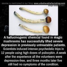 A hallucinogenic chemical found in magic mushrooms has successfully lifted severe depression in previously untreatable patients. Scientists induced intense psychedelic trips in 12 people using high. Bizarre Facts, Wow Facts, Wtf Fun Facts, Some Amazing Facts, Unbelievable Facts, Interesting Facts, The More You Know, Good To Know, Psilocybin Mushroom