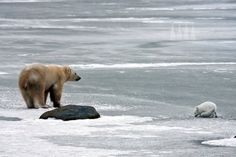 A polar bear and an arctic fox share a patch of ice out on the tundra near Churchill, Manitoba. After chasing the fox away several times, the bear gave in and allowed it to approach within feet of it.      Cai Priestley photography