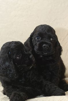 Black american cocker spaniel puppies. (I brought my mother home a puppy like this for Christmas when I was in college. She named him Rhett for Rhett Butler.... He did have some panache about him lol.)