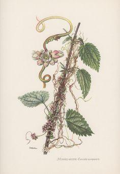 Botanical Print Cuscuta europaea European by AntiquePrintGarden