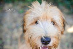 Wheaten Terrier. By Leesia Teh.