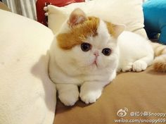 Snoopy the Exotic Shorthair How freaking adorable :) Cutest Cats Ever, Kittens Cutest, Snoopy Cat, Flat Faced Cat, Animals Beautiful, Cute Animals, Mean Cat, Exotic Shorthair, Little Kitty