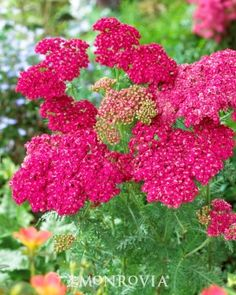 Monrovia's Saucy Seduction Yarrow details and information. Learn more about Monrovia plants and best practices for best possible plant performance.
