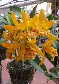 Cymbidium WHITE SUMMER /'Red Spot/' NEW blühstark orchidee orchidee