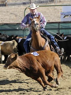 We just love this sport! #team penning #horses #cowboy