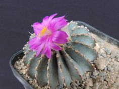 Cactus House Plants, Cacti, Surat Thani, Purple Plants, Miniature Gardens, Planter Ideas, Cactus Flower, Hydrangea, Garden Tools