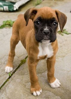 Boxer puppy - Although I am a Shih tzu lover.. I have to admit boxers are one of the  best breeds ever, protective yet playful! So good with kids! Love them! Next dog????