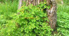Rostopasca și binefacerile ei fără număr   Paradis Verde Paradis, Medicine, Therapy, Green, Plant