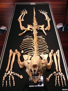 """Thylacoleo Carnifex: the Marsupial """"Lion"""" in Animal Face Off Forum ..."""