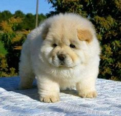 Chow chow puppies are the most loyal dog breeds. It is recommended for you to buy Chow chow puppies for sale as your pet.