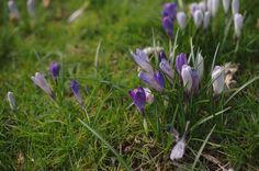 Crocuses in spring, Ireland Flocking, Countryside, Ireland, Adventure, Cats, Spring, Gatos, Irish, Adventure Movies