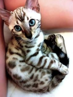 Having a shitty day? Here is a Siamese Bengal kitten. #SavannahCat