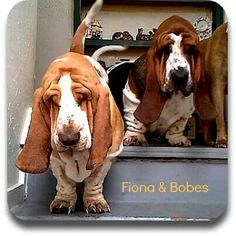 I love when all their extra skin falls forward Basset Puppies, Bloodhound Dogs, Hound Puppies, Basset Hound Puppy, Beagles, Fox Terrier, Bull Terriers, Rhodesian Ridgeback, I Love Dogs