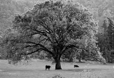 Black And White Tree With Two Cows by Michele Avanti   This image is also available in full color.   One of the most beautiful creations on planet earth are the trees. Each unique in its stature and structure. Those that are given space, soil and water, will extend their arms as far as they can reach and grace the landscape with their magnificent presence.