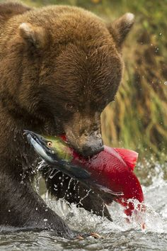 Grizzly Bear and his meal.  When we were there, we saw mother bears come out of their dens with their cubs and catch fish as the Salmon were swimming upstream. River otters and Bald Eagles were also waiting for the fish too!