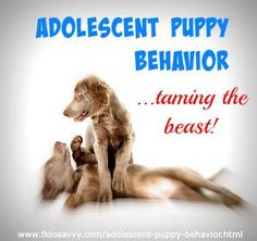 Adolescent puppy behavior can be challenging, confusing and downright difficult! But the teenage years are just a 'stage'. Find out how to weather the storm here.