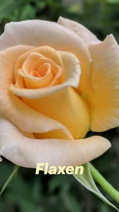 Beautiful Rose Flowers, Exotic Flowers, Amazing Flowers, Beautiful Gardens, Pink Flowers, Pansies, Tulips, Tulip Wedding, Flower Photos