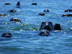 Seals in Chatham MA. They were so amazing! Very curious as you walked by.