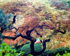 One of the stunning Japanese Maples at the Japanese Garden in Portland, Oregon.