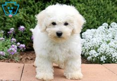 This gorgeous Bichon Frise puppy will definitely brighten up your days! He is playful, super friendly and has an outgoing personality. This puppy is Cute Baby Pigs, Cute Baby Puppies, Newborn Puppies, Cute Babies, Bichon Puppies For Sale, Bichon Frise, Dog Portraits, New Puppy, Dog Lovers