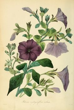 Paxton's Magazine of Botany and Register of Flowering plants
