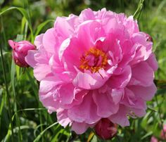 'Emma Klehm' Double Peony lactiflora