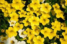 Calibrachoa Catwalk™ Perfect Yellow