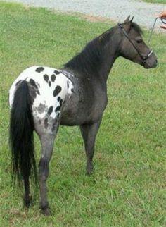 Appaloosa - the Idaho horse!