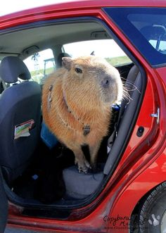 be surprised when you find your capybara with a paper bag in the pool.but you know, like a good kind of weird. You can take them for car rides. Giant Animals, Animals And Pets, Baby Animals, Funny Animals, Cute Animals, Wombat, Beautiful Creatures, Animals Beautiful, Dog Whistle
