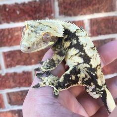 #herp #herps #reptile #reptiles #lizard #lizards #gecko #geckos #rhacodactylus #ciliatus #crestie #crestedgecko #crestedgeckosofinstagram #reptilesofinstagram #lizardsofinstagram #geckosofinstagram #reptilebreeder #geckobreeder #animals #pets #exoticpets #pangeareptile #snakebytestv