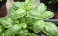 Basilico: i mille modi per usarlo - Repellente per zanzare, Capelli lucidi, Tonico naturale, basilico