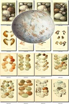 BIRDS EGGS-1 Collection of 319 nests heads vintage pictures